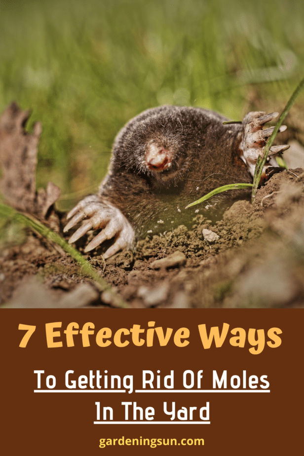 7 Effective Ways To Getting Rid Of Moles In The Yard ...