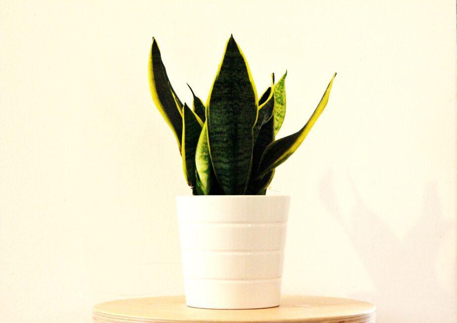 Snake Plants – Beautiful Indoor House Plants - Gardening Sun